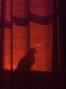 A pigeon's movement and shadow can raise your alertness and prevent you from sleeping. Credit: NYC Wildlife.