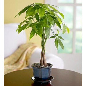 I put a small money tree right by my desk.